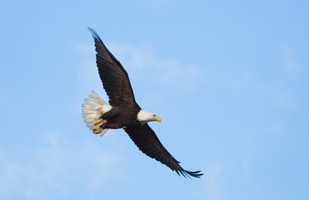 Bald Eagle in Flight with Blue Sky. Alaska Stock Photo