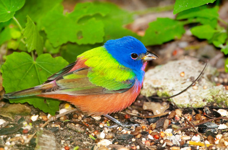 Painted Bunting - Male.  Southern Texas. Foto de archivo