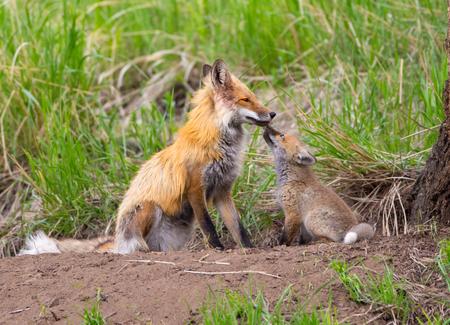 Red Fox Family - Yellowstone National Park 版權商用圖片