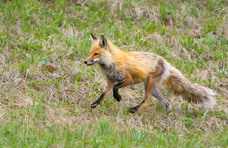 Red Fox on the Run. Yellowstone National Park. USA