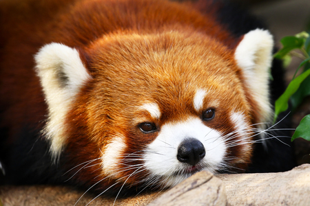Cute looking Little Red Panda, face head shot, China