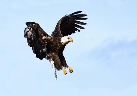 Bald Eagle in Flight, Alaska, USA