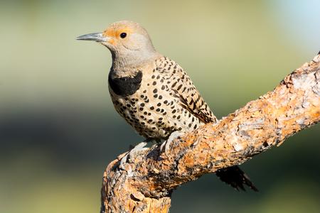 Northern Flicker, Woodpecker.  Oregon, US