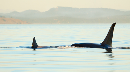 Two Orca Killer whales blowing and swimming in blue Ocean, sunset, Victoria, Canada