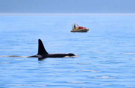 Male Orca Killer whale swimming, with whale watching boat in the background, Victoria, Canada