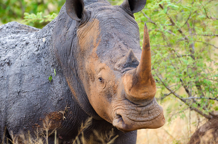 White Rhinoceros close up, Kruger National Park, South Africa