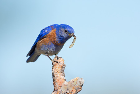 Western Bluebird with a worm, Oregon, US
