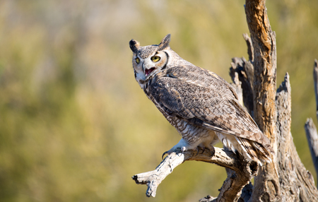 Great Horned Owl, desert Background, Arizona, USA Stok Fotoğraf