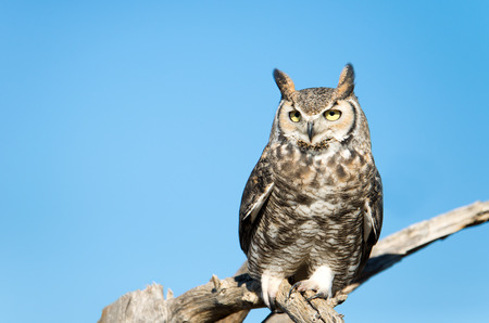 Great Horned Owl,Blue Sky Background, Arizona, USA