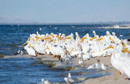 Flock of American White Pelicans sun bathing, Salton Sea, USA