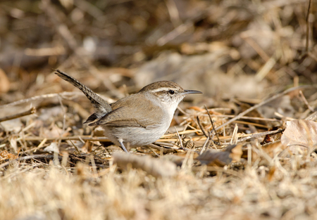 Bewicks Wren Foraging on the Ground, with tail up