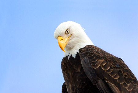Angry Looking Bald Eagle Portrait, Alaska