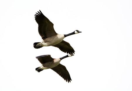 c anada Goose in Flight, White Background