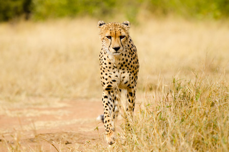 Cheetah Walking in a South Africa Savannah, Kruger National Park 免版税图像