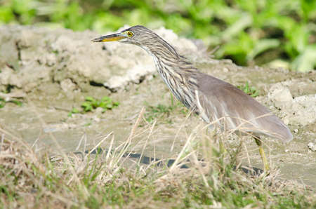 American Bittern, Wading  bird in Marsh 写真素材