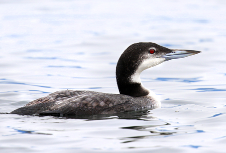 Common Loon in Winter Plummage, Vancouver Island, Canada