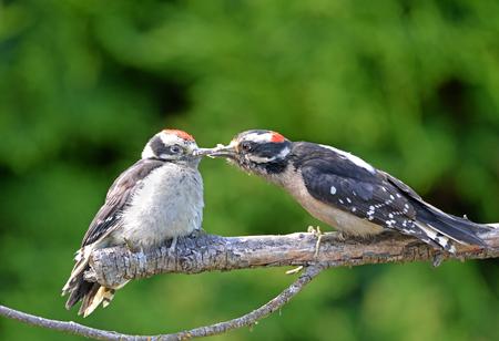Downy Woodpecker feeding Baby on a Branch, British Columbia, Canada