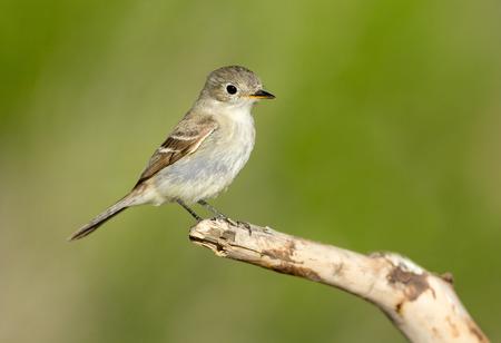 Gray Flycatcher. Oregon, USA Stock fotó