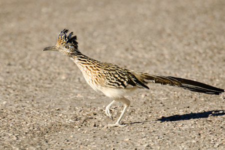 Greater Roadrunner Bird Running, Arizona, USA