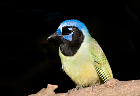 Green Jay with black  background