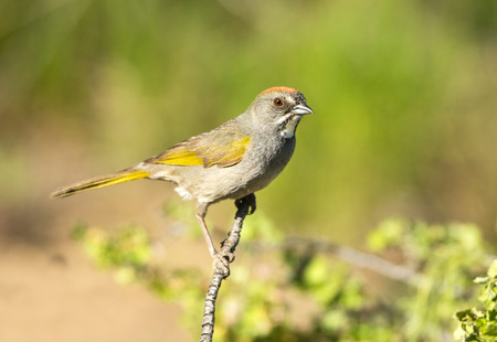 Green-tailed Towhee, Oregon, USA Stock fotó