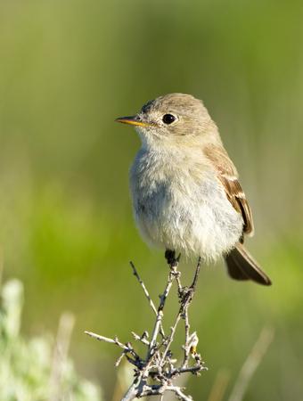 Gray Flycatcher, Oregon, US