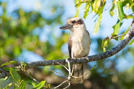 Laughing Kookaburra sitting in a tree, Queenland, Australia