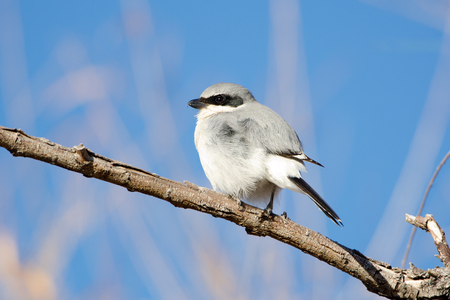 Loggerhead Shrike on branch, Blue Sky