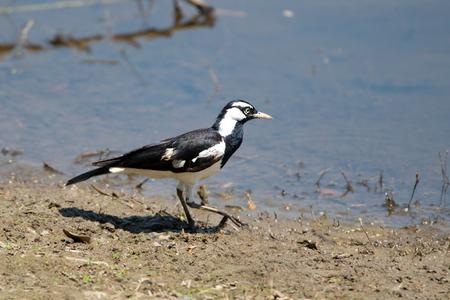 Magpie Lark, Queensland, Australia Stock Photo