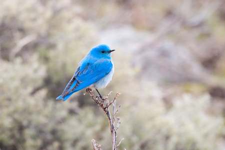 A Male Mountain Bluebird perching on a low tree, Yellowstone National Park, USA Stock Photo
