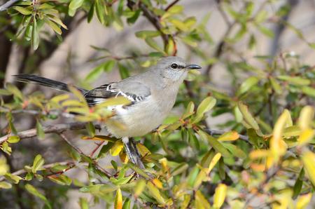 Northern Mocking Bird, Arizona, USA
