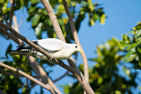 Pied Imperial Pigeon - Cairns, Australia