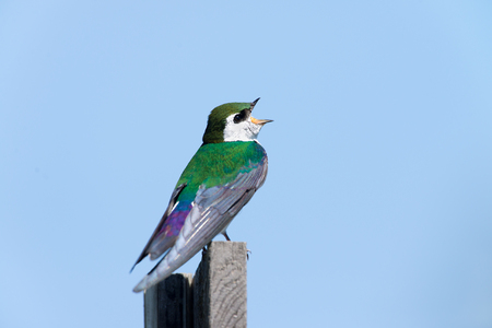 Violet-green Swallow - Male
