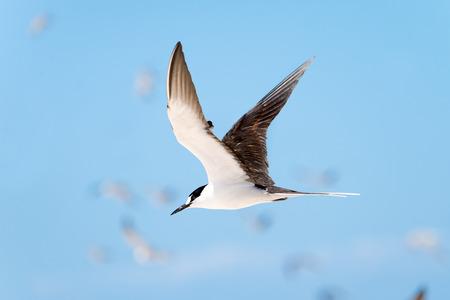Sooty Tern in Flight, Great Barrier Reef, Queensland, Australia