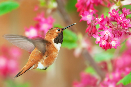 Rufous Hummingbird feeding on Flowering Currant