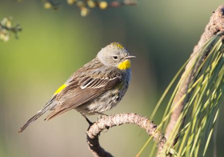 Yellow-rumped Warbler. Oregon, USA Stock fotó