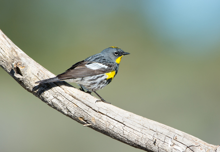 Yellow-rumped Warbler - Male. Oregon, USA