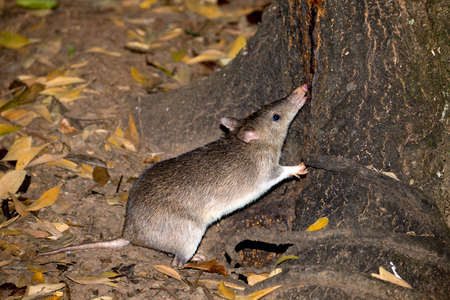 Nocturnal Long-nosed Bandicoot foraging in the dark, Queensland, Australia. Flash Photography