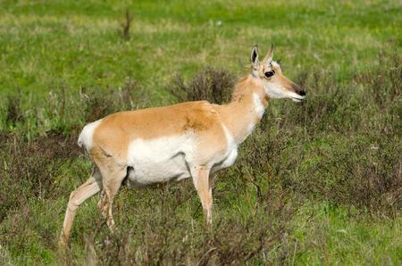 Pronghorn Antelope. Yellowstone National Park, USA