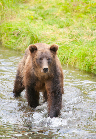 Grizzly Bear fishing in the River, Hyder Alaska, USA Stock Photo - 97665075