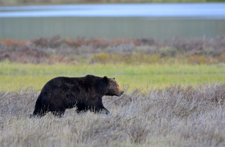 Grizzly Bear, Boar, male. Walking at Yellowstone National  Park