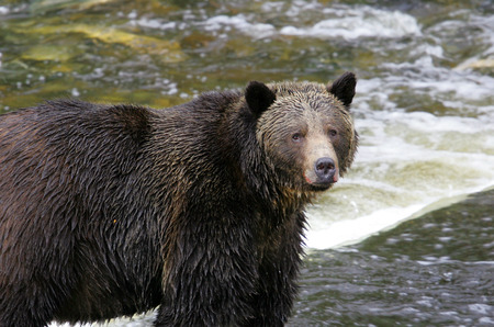 Grizzly Bear fishing in the River, Knight Inlet, Canada Stock Photo
