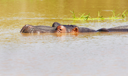 Hippopotamus submerged in Pond, Kruger National Park, South Africa Banco de Imagens