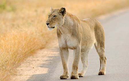Lion on the Road, Kruger National Park, South Africa Stock Photo
