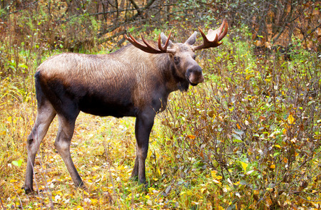 Moose with Antlers, Male. In a forest, Alaska, USA 스톡 콘텐츠