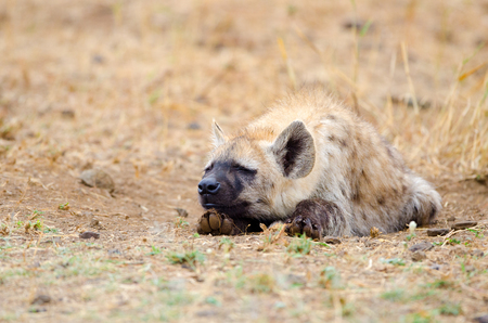 A single Spotted Hyena Sleeping, Kruger National Park, South Africa