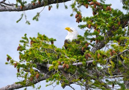 Bald Eagle hiding in Douglas Fir Tree, Vancouver Island, British Columbia, Canada