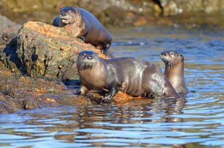 River Otter Family swimming, Vancouver Island, British Columbia, Canada