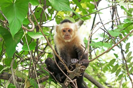 Capuchin Monkey. Punta Arenas, Costa Rica. A medium sized Monkey,  the organ grinder monkey 版權商用圖片
