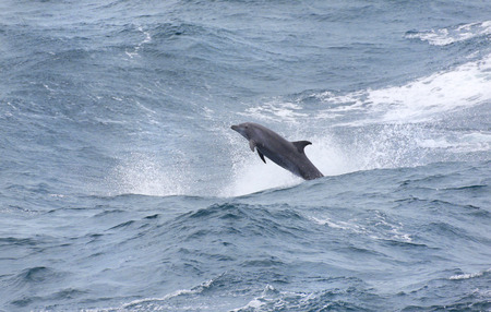 Wild Bottle-nose Dolphin Playing in the windy surfs, big ocean waves.
